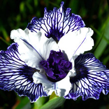 Californian Iris - Bare Rooted