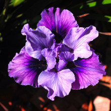 Californian Iris - Potted