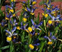 SPURIA IRIS CLUMP CLARA ELL