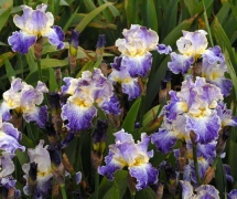 TALL BEADED IRIS MOONLIT WA