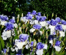 TALL BEARDED IRIS ALPENVIEW