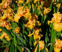 TALL BEARDED IRIS BOYD -  D