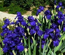 TALL BEARDED IRIS DUSKY CHA