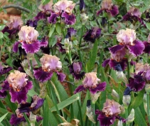 TALL BEARDED IRIS FLUENT MA