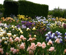TALL BEARDED IRIS GARDEN DX