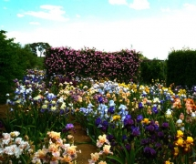 TALL BEARDED IRIS GARDEN