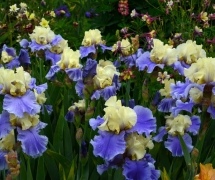TALL BEARDED IRIS HAUT LES