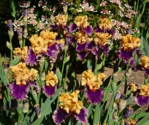 TALL BEARDED IRIS HOLLYWOOD