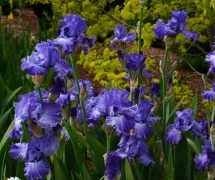 TALL BEARDED IRIS IMOGEN PA