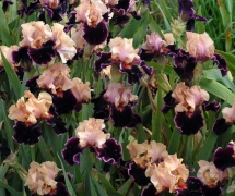 TALL BEARDED IRIS MOROCCAN