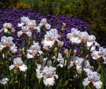 TALL BEARDED IRIS RITE OF P