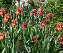 TALL BEARDED IRIS RUSTY TAY