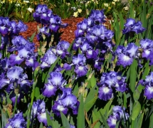 TALL BEARDED IRIS SUKY