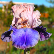 Tall Bearded Iris - Favourites