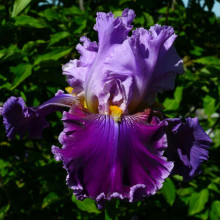 Tall Bearded Iris - New Releases